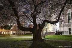 UW Quad 8 (BobbyFerkovich) Tags: universityofwashington quad cherry trees full moon night long exposure