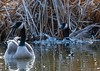Sunday afternoon @ Cools Pond Vernon BC (Fraser8888) Tags: water color fowl canada pond wildlife bird goose splashing