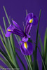 "On our diningtable, ""Iris"" (Fred / Canon 70D) Tags: jinbei macro flower flowers elinchrom iris eefde canon canon70d canoneos spring spring2018 elinchromgoldumbrella jinbeidiffusionjumboumbrella falconeyesskk2150d falconeyes ef100mmf28lmacroisusm"