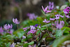 20180318-DS7_0401.jpg (d3_plus) Tags: bokeh aiafzoomnikkor80200mmf28sed d700 thesedays wildflower 日常 walking 城山 ボケ 相模原 望遠 カタクリ 自然 景色 dogtoothviolet sagamihara trekking 神奈川県 sky telephoto 山野草 風景 japan erythroniumjaponicum ニコン トレッキング nature dailyphoto ハイキング nikon nikond700 kanagawa flower nikkor shiroyama 8020028 dogtoothvioletvillage bloom 植物 80200mmf28d 散歩 80200mmf28af plant 花 scenery 80200mmf28 daily 城山かたくりの里 hiking 80200 日本 tele 80200mm かたくりの里 空
