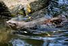 Otters (Mark Harris photography) Tags: otters ainmal water smallclawedotter asiansmallclawedotter cute cuteness