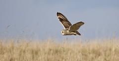 Short-eared Owl (Alan McCluskie) Tags: shortearedowl shortie seo owls birds asioflammeus grass fields countryside cotswolds aves avian birdofprey bop birdinflight bif canon7dmk2 sigma150600mmsp uknature wildlife