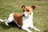 Jack Russell Terrier (Antje_Neufing) Tags: hund jack russel terrier wiese gras