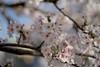 sakura_52 (gnsk) Tags: sakura pentax pentaxart k1 smc pentaxfa 77mm f18 limited fa77 flower cherry cherryblossom blossom bokeh dof