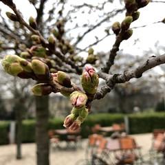 Spring Pink (frankdorgathen) Tags: smartphone iphone bokeh spring outdoor ruhrpott ruhrgebiet essen stadtpark blossom nature tree