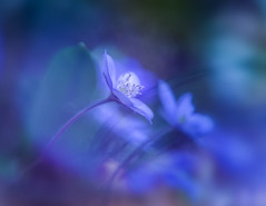 "Blümchen auf dem Waldboden (louhma) Tags: ""macro mondays"" macro mondays spring frühling flowers flower waldboden nikon d750 blue ""the blues"" dof bokeh"