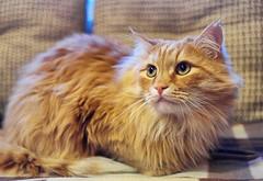 Рыжий кот Василий (sava-vava) Tags: kf lj домашние любимцы животные кошки pets animals cats cat 2018 кот