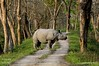 Rhino Crossing (Saumil U. Shah) Tags: therealsaumil saumil shah saumilshah nature wildlife landscape kaziranga national park nationalpark assam northeast india asia forest rhino rhinoceros onehorned greatindianrhino