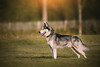 Looping (EmelineJames) Tags: dog chien animal nature husky