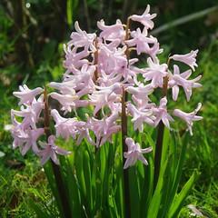Au jardin (Ariège) (PierreG_09) Tags: seix ariège pyrénées pirineos couserans hautsalat occitanie midipyrénées flor flore fleur plante jardin aujardin jacinthe