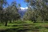 Oliven und Schnee (blichb) Tags: 2018 arco berge frühling gardasee italien lagodigarda olivenbäume reise riva rivadelgarda sonya7rii trentino urlaub zeissloxia235 blichb schnee