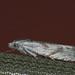 Eucosma metzneriana - Mugwort bell