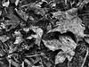 Leaves (duaneschermerhorn) Tags: black white blackandwhite blackwhite bw noire noir blanc blanco schwartz weiss leaves deadleaves ground earth