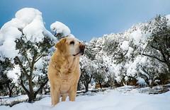Kanaille 12ans déjà (joboss83) Tags: chien animaux neige provence dog olivier labrador tropbelle cuers