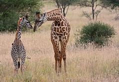 Sweet Moment Between Mom and Calf Masai Giraffes - 4153b+ (teagden) Tags: giraffe giraffes masaigiraffe cowandcalfgiraffe momandbaby jenniferhall jenhall jenhallphotography jenhallwildlifephotography wildlifephotography wildlife nature naturephotography photography wild nikon dkgrandsafaris safari safarisunday kenyasafari africasafari africansafari tsavo west tsavowest tsavokenya tsavoafrica kenya kenyawildlife kenyaafrica africa africanwildlife african africanphotography