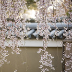 Kodai-ji in Spring 春の高台寺 thumbnail