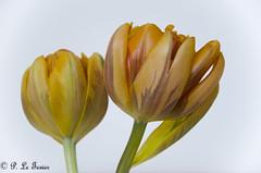 Duo de Tulipe 01 (letexierpatrick) Tags: tulipe fleurs fleur flower flowers floraison nature nikon nikond7000 couleur couleurs colors