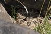 Great Basin Rattlesnakes (DevinBergquist) Tags: greatbasinrattlesnake crotaluslutosus crotalus rattlesnake snake herping fieldherping utah ut wildlife nature insitu viboradecascabel cascabel