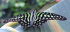 Graphium agamemnon (Meino NL OFF LINE UNTIL JUNE 21) Tags: tailedjay graphiumagamemnon vlinder butterfly pages papilionidae greenspottedtriangle swallowtailfamily vlindertuinvlindorado papillon waarland vlindoradowaarland