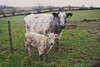 Mother and calf (dan487175) Tags: cow calf grass eartag tags grassfield field nature baby young mother fence whaching cornwall nikon veau vache tree background mud walk lookingatyou sky