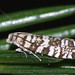 Epinotia tedella - Листовёртка-иглоед еловая