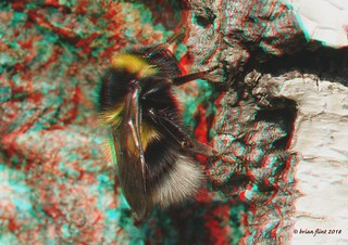 Bee resting on tree - 3d anaglyth