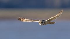 Short Eared Owl (Glenn.B) Tags: aust gloucestershire birdofprey bird owl shortearedowl raptor