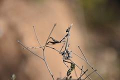 Ninfa de Empusa pennata (esta_ahi) Tags: torrellesdefoix empusapennata empusa pennata empusidae mantodea mantispalo insectos fauna penedès barcelona españa spain испания
