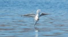 _U7A9791 (rpealit) Tags: scenery wildlife nature lk musconetcong herring gull diving bird