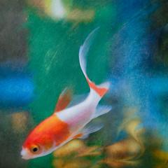Speedie (jane.garratt♥) Tags: goldfish comets canoneos5dmarkii canonef100mmf28lmacrousm postprocessed flypapertextures topazimpressions animal fish athome aquarium