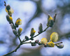 10.04.18 (Kirby_Wilson) Tags: willow pussywillow tree spring bud budding