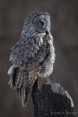Great Gray Owl (Turk Images) Tags: borealforest greatgrayowl strixnebulosa alberta birds ggow owls strigidae winter