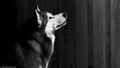 A little wolf in all of us. (Neil. Moralee) Tags: beerdevonneilmoraleesigma150500 neilmoralee dog pet wolf alone silent loyal loyalty waiting expectant best friend black whie bw blackandwhite bandw monochrome neil moralee nikon d7200 sigma 150500 companion devon uk beer face