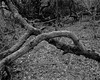 Branches (Hyons Wood) (Jonathan Carr) Tags: tree branch ancient woodland rural northeast monochrome landscape 4x5 5x4 largeformat black white bw toyo45a