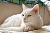 Charlie (rootcrop54) Tags: charlie white allwhite male oddeyes oddeyed heterochromia pink neko macska kedi 猫 kočka kissa γάτα köttur kucing gatto 고양이 kaķis katė katt katze katzen kot кошка mačka gatos maček kitteh chat ネコ