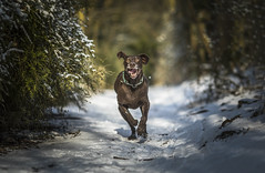 Charge!!!!! Explored 16-3-18 (Dogstar_photography) Tags: mad crazy rescue dog gspgermanshorthairedpointer pointer snow woods running canon eos 5d mkiv ef135mm f2l usm