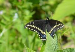 a lmn swallowtail DSC_0088 (eustatic) Tags: basa wildlife grn lmn
