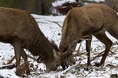 IMG_9910 (Sula Riedlinger) Tags: deer reddeer reddeercervuselaphus cervuselaphus redstag reddeerstag stag antlers greaterlondonwildlife greaterlondon greaterlondonparkswildlife londonwildlife londonroyalparks londonparkswildlife mammal nature nationalnaturereserve richmondpark royalparks royalpark surrey surreywildlife urbanwildlife urbannature ukwildlife uknature ukmammal