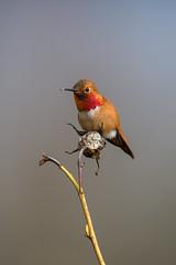 RUHU 3266 (www.raincoastphoto.com) Tags: birds selasphorusrufus hummingbirds birdsofbritishcolumbia birdsofcanada birdsofnorthamerica rufoushummingbird britishcolumbia canada