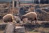 Morocco - Volubilis Sheep Roaming The Ruins (Modkuse) Tags: nikkorlens slidefilm slide transparency kodak ektachrome nikonf romanruins volubilis morocco 50mm nikon sheep