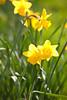 London Spring Colours (Adam Swaine) Tags: spring springblossom flowers flora daffodils peckhamryepark nature londonparks england english britain yellow canon beautiful seasons petals