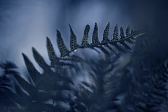 300,000,000 Years (shawn~white) Tags: 50mm canon6d shawnwhite alteredstate blue bokeh dark dream dreamy enchanting fern magic magical mystic mystical
