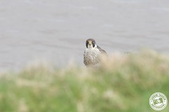 Peregrine Falcon - Falco peregrinus (Lauren Tucker Photography) Tags: bird birdofprey nature peregrinefalcon wildlife falco peregrinus uk southwest england sandpoint brean canon7d slr camera photograph photography photographer photo image picture copyright ©laurentuckerphotography 2018 april spring heatwave summer colour wild wildilfe naturereserve cliff