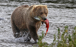 Bear With Fish