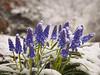 Dreaming of Spring (RobertCross1 (off and on)) Tags: 1250mmf3563mzuiko boston em5 malden massachusetts melrose omd olympus pinebankspark bluebells flowers landscape macro park snow spring winter