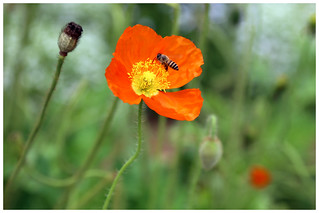 春蜂得意   Spring bee