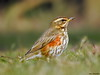 Redwing (Corine Bliek) Tags: turdusiliacus bird birds vogel vogels natuur nature wildlife migratory trekvogels winter lijsters rare animal thrush grass