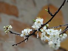 Frozen Spring (R_Ivanova) Tags: nature spring ice frost frozen blossom branch tree macro cold outdoor sony rivanova риванова природа пролет лед капки дърво клони цвят замразен