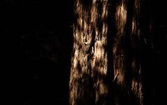 Nature's Heart (KC Mike Day) Tags: redwood coastal muir tree giant light dark shadow bark tall width strength resolve massive nature