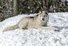 _D6X1618 (pxr57) Tags: sainteannedebellevue québec canada ca wolf nikon d600 eco zoo